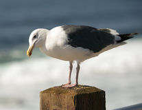 Sideview of a Western Gull standing on a post Stock Photography