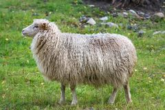 Side view of a white sheep with very long wool Stock Photo