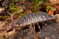 sideview woodlouse obraz royalty free