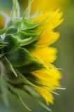 Sideview of Yellow sunflower Stock Image