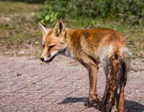Sideview of a young fox in late summer Royalty Free Stock Photo