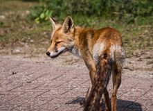 Sideview of a young fox in late summer Stock Photos
