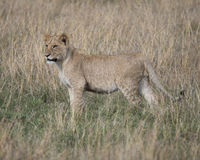 Sideview of young lioness standing in grass looking toward camera Royalty Free Stock Photo