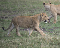 Sideview zbliżenie młody lwicy odprowadzenie w zielonej trawie Obrazy Stock