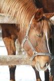Sideviewportret van een mooie jonge merrie Stock Foto