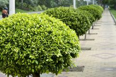 Sidewalk. Deck the sidewalk with holly in city,Canton,China Stock Photo