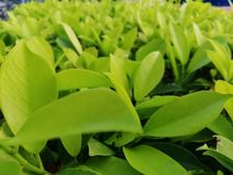 Green Leaves. Sidewalk leaves that has been newly trimmed royalty free stock photo