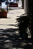 Sidewalk with Norfolk pines. Sidewalk of a small downtown area with three Norfolk pines outside the entrance of a shop Royalty Free Stock Photo