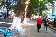 Sidewalk tree roots were painted white lime, safe over winter. Sidewalk tree roots were painted white lime, in order to safety over the winter. In Shenzhen royalty free stock images
