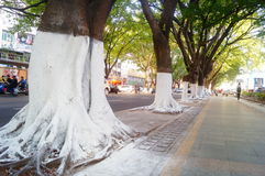 Sidewalk tree roots were painted white lime, safe over winter royalty free stock image