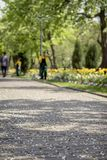Sidewalk under gentle fallen petals of cherry blossoms, sakura tree. Selective focus. Cleaners sweep the park, keeping. In mind ideal cleanliness. Blurred Royalty Free Stock Image