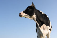 Sideway Cow. Cow looking sideway over a blue sky background Stock Images