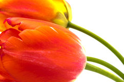 Sideways bright red tulip Royalty Free Stock Photography