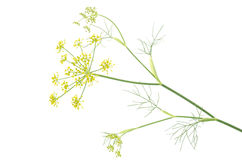 Sideways fennel flowers Royalty Free Stock Photo