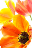 Sideways gradient tulip Royalty Free Stock Photo