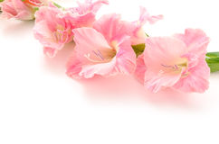 Sideways pink gladiolus flowers Royalty Free Stock Photos