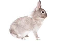 Sideways portrait of a fluffy alert bunny rabbit Royalty Free Stock Photo