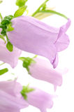 Sideways purple bell flower Stock Photography