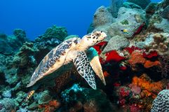 Sideways shot of Hawksbill turtle showing its bill-like profile. A hawksbill turtle is swimming alongside some vibrant coral and sponges on a reef in the Cayman stock image