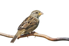 Sideways Sparrow Royalty Free Stock Image