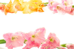 Sideways two colors gladiolus flowers Royalty Free Stock Images