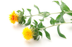 Sideways two safflower flowers Royalty Free Stock Images