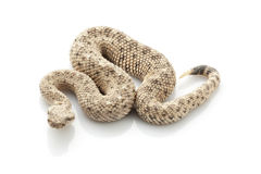 Sidewinder. (Crotalus cerastes) isolated on white background Stock Photos