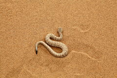 Sidewinder rattle Snake Moving. Top view of a desert sidewinder snake slithering, Namibia, Southern Africa Stock Image