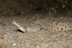 Sidewinder Rattlesnake Royalty Free Stock Photos