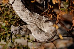 Sidewinder rattlesnake in California. Royalty Free Stock Photos