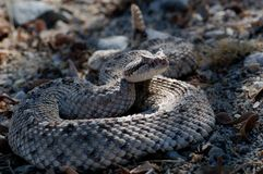Sidewinder rattlesnake in California. Royalty Free Stock Images