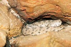 Sidewinder rattlesnake Crotalus cerastes Royalty Free Stock Photos