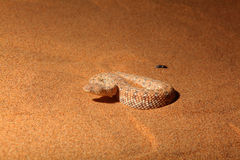 Sidewinder Snake elevated Stock Photos