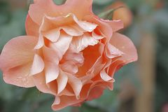 Sidewinder a solas de Rose Garden Sherbert Pink Petal Imagenes de archivo