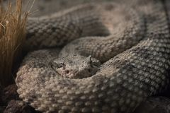 Sidewinder viper lurking in the shadows. Detail of the face of a sidewinder viper lurking in the shadows Royalty Free Stock Photos