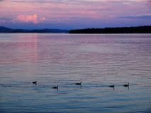 Sidney shore. Sidney, Vancouver Island of British Columbia, evening at the shore with flock of geese Royalty Free Stock Photography