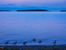 Sidney shore. Sidney, Vancouver Island of British Columbia, evening at the shore with flock of geese Stock Photos