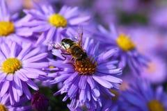 Sido na flor Imagem de Stock