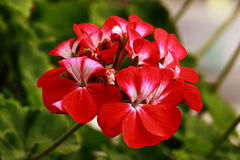 Sidoides. Close-up images of red flowers Stock Photography