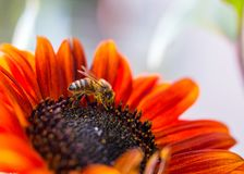 Sidoprofil av biet på pradosolrosen arkivfoton