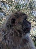 Sidoprofil av en Gibraltan Barbary Macaque Royaltyfria Bilder