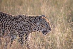 Sidoprofil av en leopard i gräset Arkivfoton