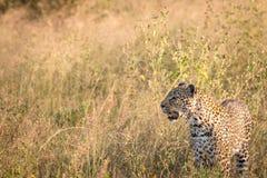 Sidoprofil av en leopard i gräset Arkivbild