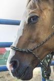 Sidoprofil av hästen Royaltyfri Fotografi