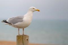 Sidoprofil av seagullen som sätta sig på en stolpe på sjösidan Royaltyfri Foto