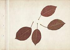 Sidor av äpplet Tappningherbariumbakgrund på gammalt papper Sammansättning av pressande och torkade röda sidor på en papp Arkivfoton