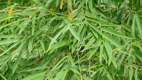 Sidor av bambuväxten Arkivbild