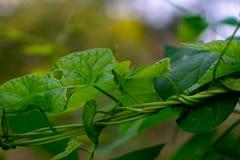 Sidor av den nya gröna murgrönan Gröna murgrönaträdsidor på bakgrundsgräsplan Närbild fotografering för bildbyråer