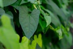 Sidor av den nya gröna murgrönan Gröna murgrönaträdsidor på bakgrundsgräsplan Närbild arkivfoton