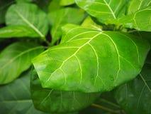 Sidor av det tropiska trädet Royaltyfria Bilder